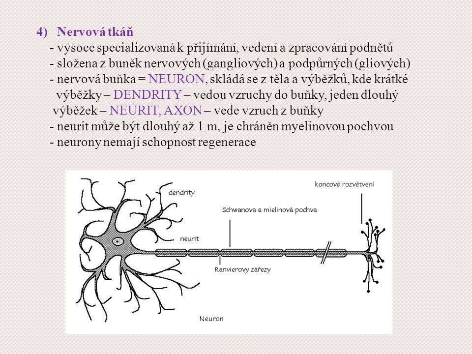 4) Nervová tkáň - vysoce specializovaná k přijímání, vedení a zpracování podnětů - složena z buněk nervových (gangliových) a podpůrných (gliových) - nervová buňka = NEURON, skládá se z těla a výběžků, kde krátké výběžky – DENDRITY – vedou vzruchy do buňky, jeden dlouhý výběžek – NEURIT, AXON – vede vzruch z buňky - neurit může být dlouhý až 1 m, je chráněn myelinovou pochvou - neurony nemají schopnost regenerace