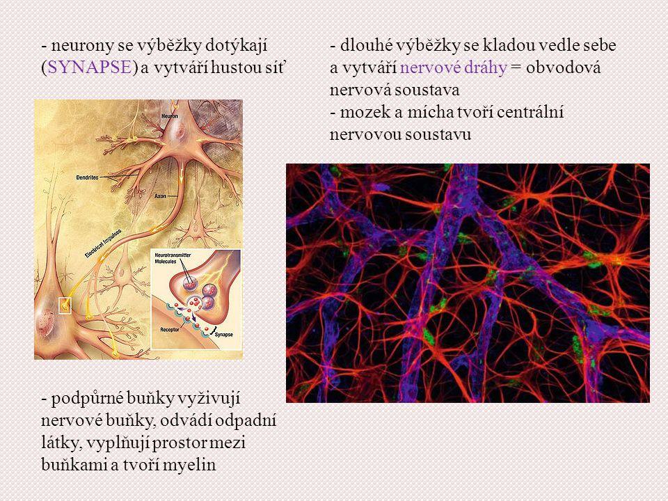 - neurony se výběžky dotýkají (SYNAPSE) a vytváří hustou síť - dlouhé výběžky se kladou vedle sebe a vytváří nervové dráhy = obvodová nervová soustava