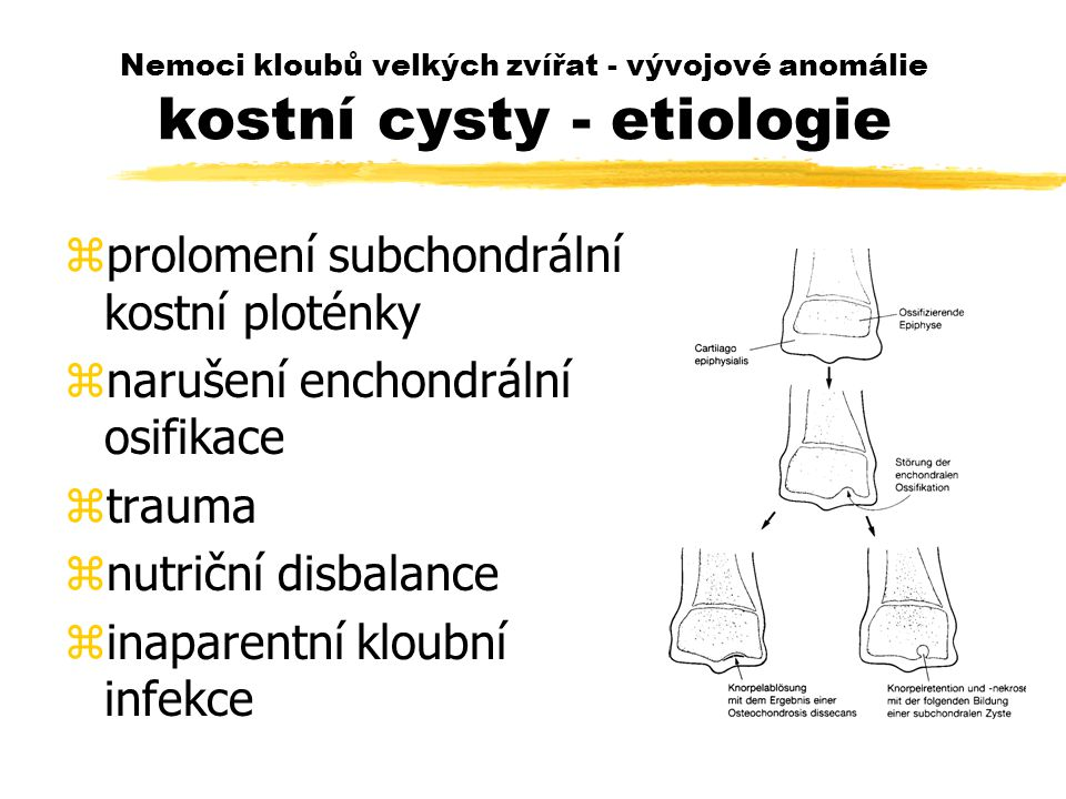 Nemoci kloubů velkých zvířat - vývojové anomálie kostní cysty - etiologie zprolomení subchondrální kostní ploténky znarušení enchondrální osifikace ztrauma znutriční disbalance zinaparentní kloubní infekce