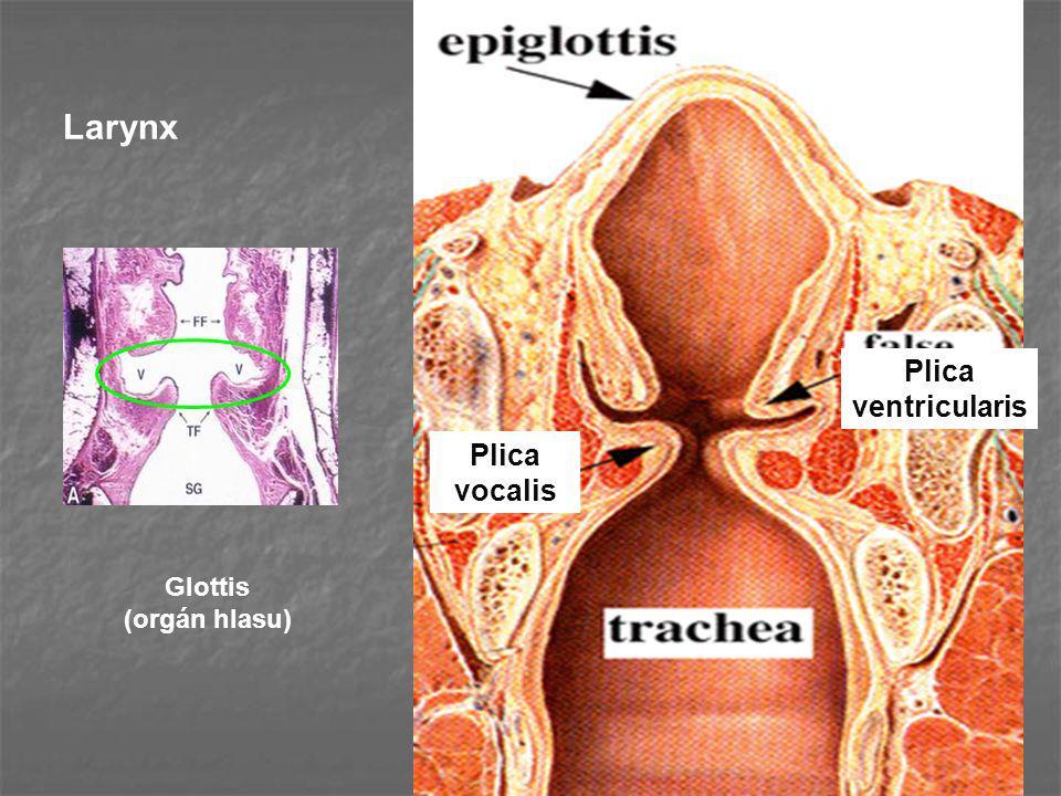 Larynx Glottis (orgán hlasu) Plica vocalis Plica ventricularis