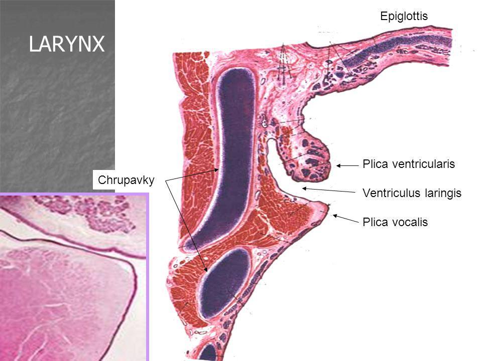 LARYNX Epiglottis Plica ventricularis Ventriculus laringis Plica vocalis Chrupavky
