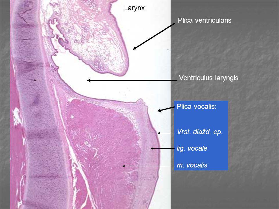 Plica ventricularis Ventriculus laryngis Plica vocalis: Vrst. dlažd. ep. lig. vocale m. vocalis Larynx