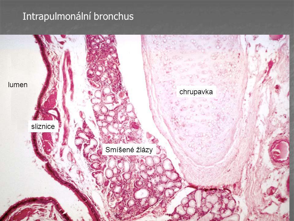 Intrapulmonální bronchus Smíšené žlázy chrupavka sliznice lumen