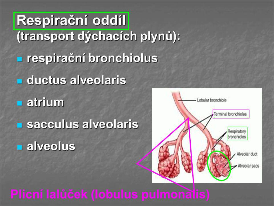 Respirační oddíl (transport dýchacích plynů): respirační bronchiolus respirační bronchiolus ductus alveolaris ductus alveolaris atrium atrium sacculus