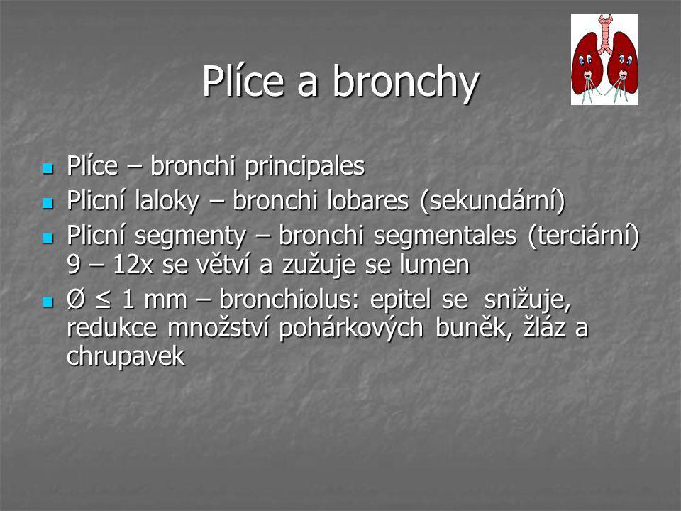 Plíce a bronchy Plíce – bronchi principales Plíce – bronchi principales Plicní laloky – bronchi lobares (sekundární) Plicní laloky – bronchi lobares (
