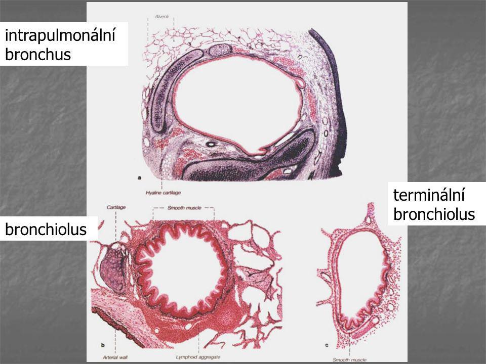intrapulmonální bronchus bronchiolus terminální bronchiolus