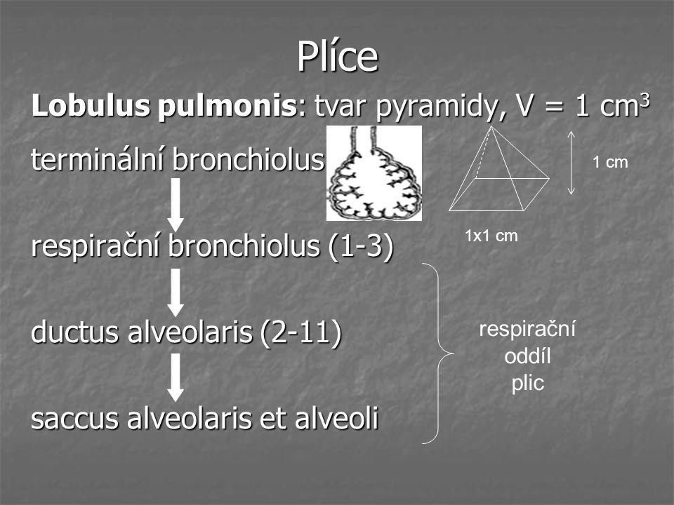 Plíce Lobulus pulmonis: tvar pyramidy, V = 1 cm 3 terminální bronchiolus respirační bronchiolus (1-3) ductus alveolaris (2-11) saccus alveolaris et al