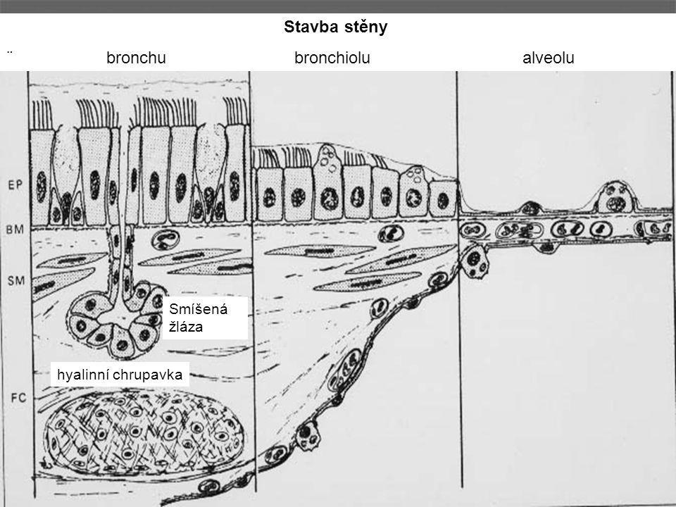 Stavba stěny ¨ bronchu bronchiolu alveolu Smíšená žláza hyalinní chrupavka