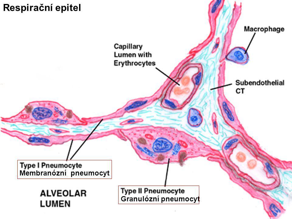 Membranózní pneumocyt Granulózní pneumocyt Respirační epitel