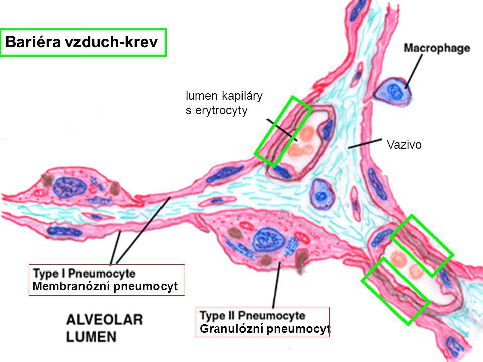 Membranózní pneumocyt Granulózní pneumocyt Bariéra vzduch-krev Vazivo lumen kapiláry s erytrocyty