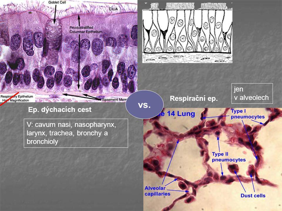 vs. Ep. dýchacích cest Respirační ep. jen v alveolech V: cavum nasi, nasopharynx, larynx, trachea, bronchy a bronchioly