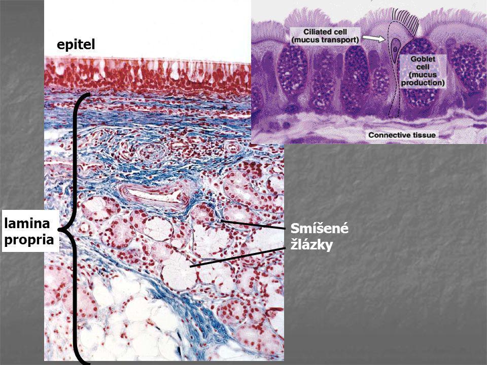 epitel laminapropria Smíšené žlázky