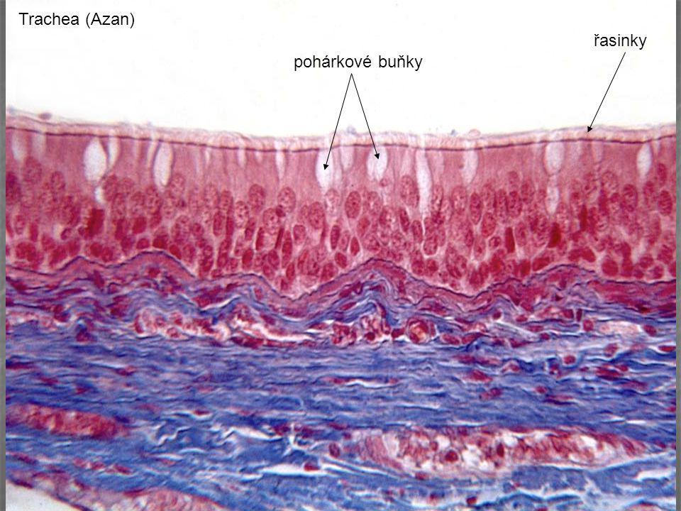 Trachea (Azan) řasinky pohárkové buňky