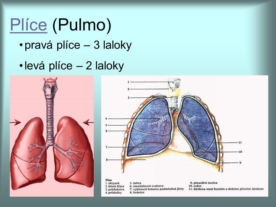 pravá plíce – 3 laloky levá plíce – 2 laloky PlícePlíce (Pulmo)