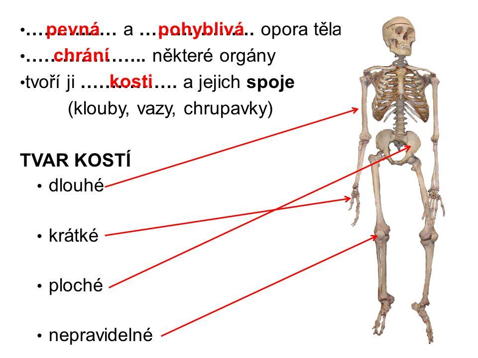 …………… a ………………. opora těla ……………….. některé orgány tvoří ji ……………. a jejich spoje (klouby, vazy, chrupavky) TVAR KOSTÍ dlouhé krátké ploché nepravidel