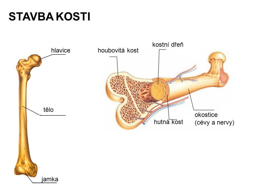 STAVBA KOSTI jamka hlavice tělo houbovitá kost kostní dřeň okostice (cévy a nervy) hutná kost