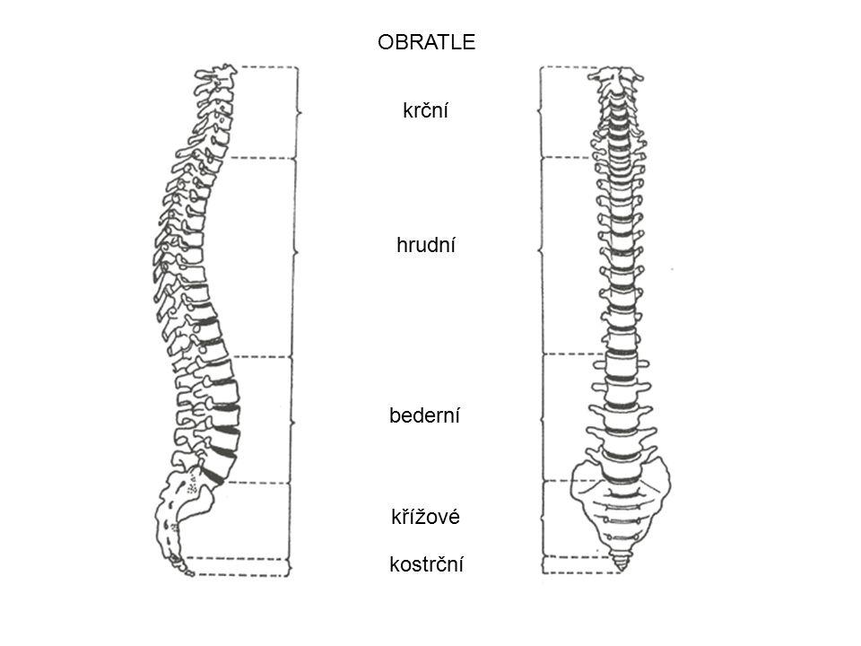 krční hrudní bederní kostrční křížové OBRATLE