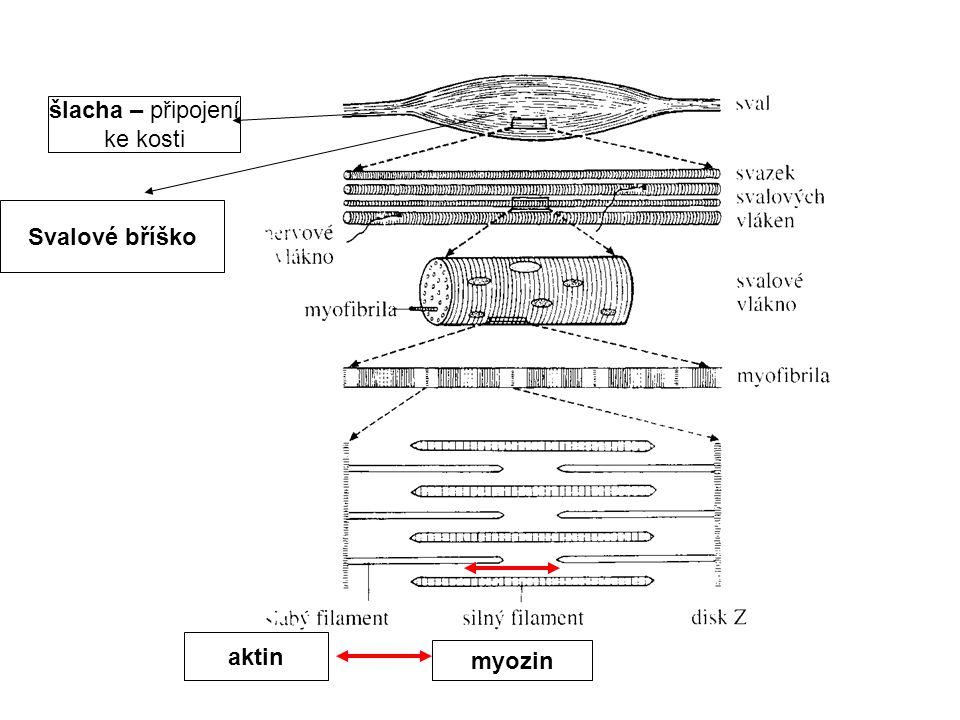 Svalové bříško šlacha – připojení ke kosti myozin aktin