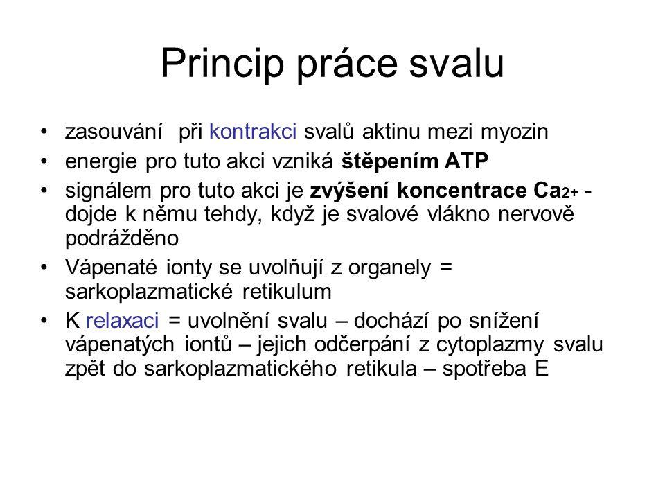 Princip práce svalu zasouvání při kontrakci svalů aktinu mezi myozin energie pro tuto akci vzniká štěpením ATP signálem pro tuto akci je zvýšení konce
