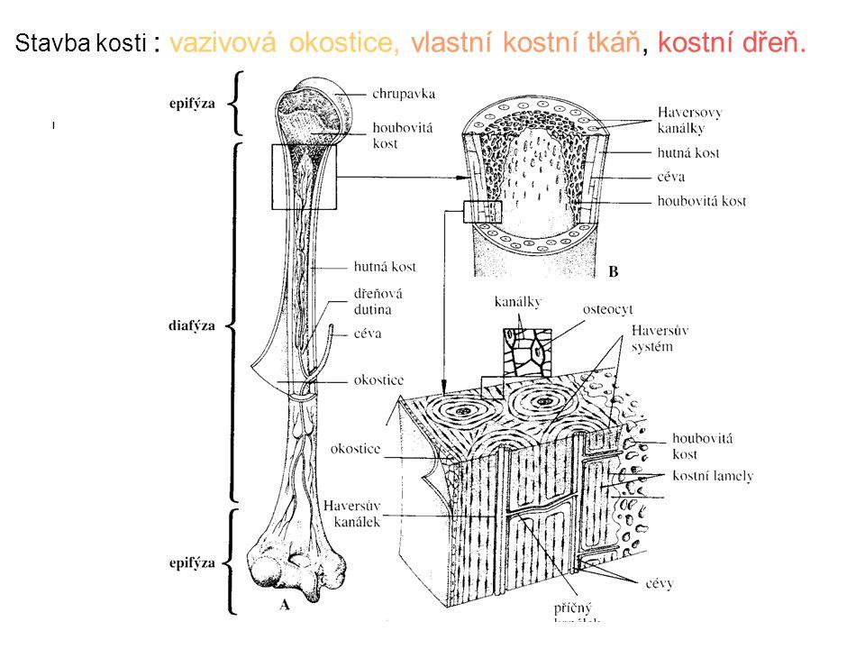 Kostní tkáň -mezibuněčnou hmotu při růstu kosti tvoří buňky = OSTEOBLASTY - kostní buňky již vytvořené = OSTEOCYTY – uloženy ve zvápenatělých komůrkách mezibuněčné hmoty MEZIBUNĚČNÁ HMOTA = organická složka (kolagenní vlákna) + anorganická složka (fosforečnan a uhličitan vápenatý – mikrokrystaly – 65% hmotnosti kosti = tvrdost kosti) v dětství – více kolagenu-pružnost, v dospělosti více minerálních látek – kosti jsou tvrdší, ale křehčí = OSTEOPORÓZA (úbytek kostní hmoty – řídnutí kostí)