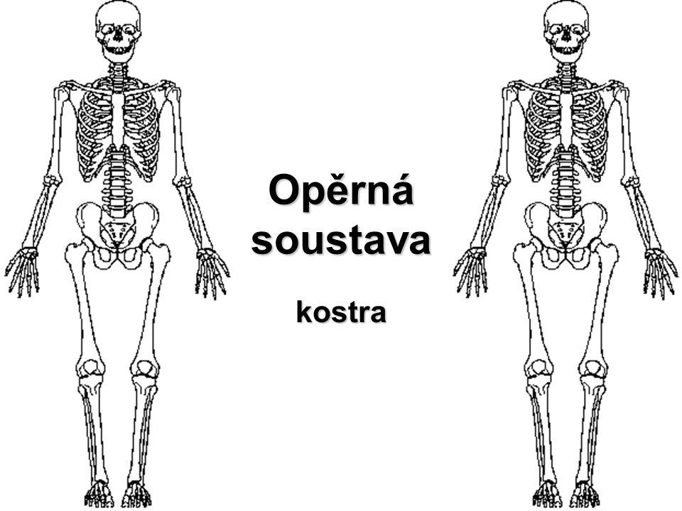 kostra 206 kostí různého tvaru a velikosti opora těla základní tvar a rozměry ochranný kryt + svaly → pohyblivost krvetvorba –kostní dřeň → krevní buňky