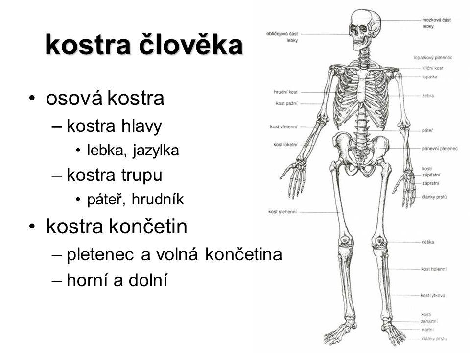 kostra člověka kostra člověka osová kostra –kostra hlavy lebka, jazylka –kostra trupu páteř, hrudník kostra končetin –pletenec a volná končetina –horn