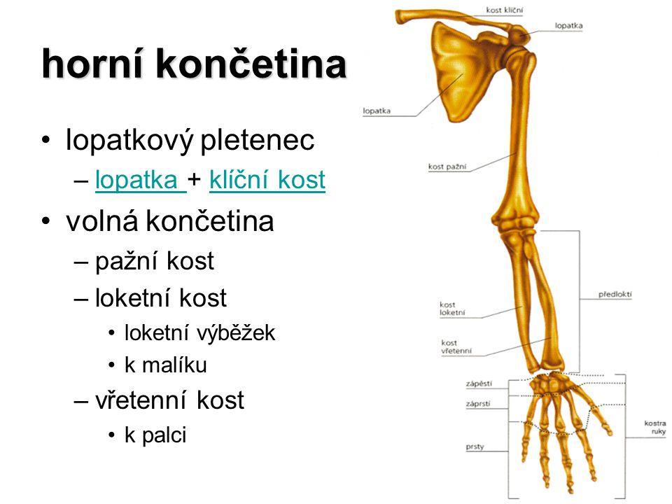 horní končetina lopatkový pletenec –lopatka + klíční kostlopatka klíční kost volná končetina –pažní kost –loketní kost loketní výběžek k malíku –vřete