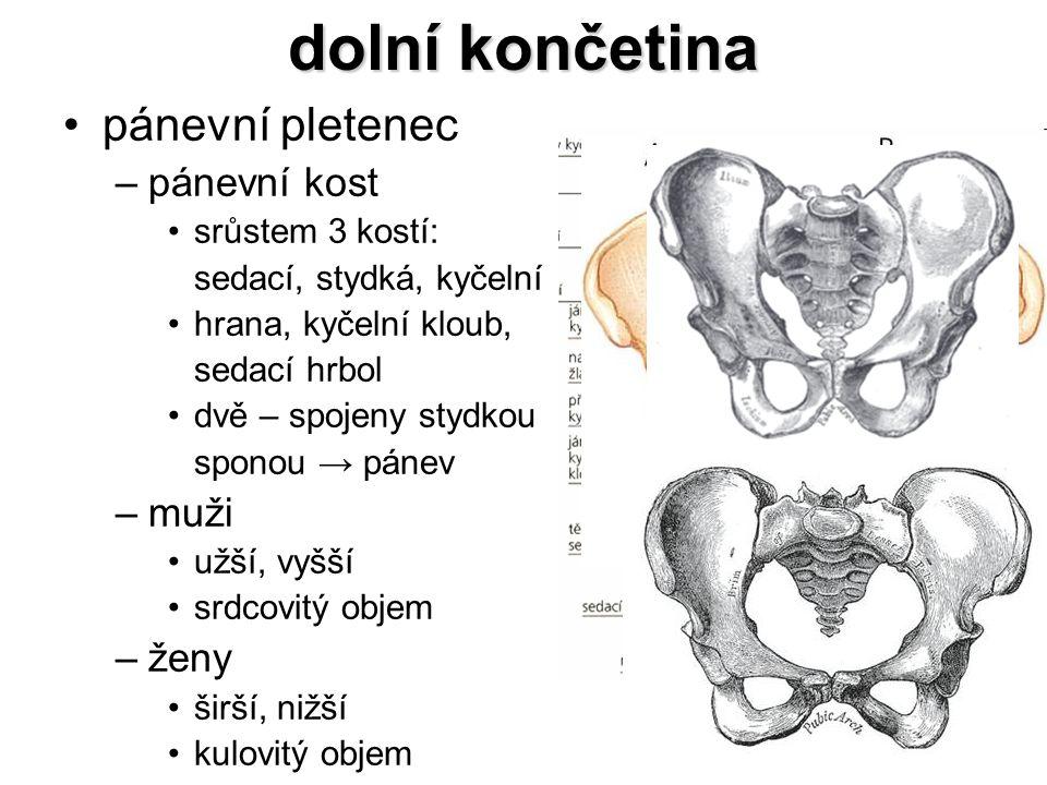 dolní končetina pánevní pletenec –pánevní kost srůstem 3 kostí: sedací, stydká, kyčelní hrana, kyčelní kloub, sedací hrbol dvě – spojeny stydkou spono