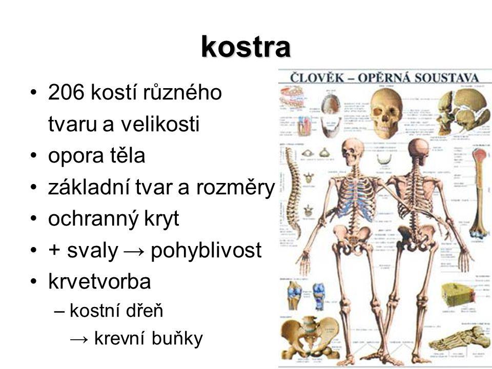 kostra 206 kostí různého tvaru a velikosti opora těla základní tvar a rozměry ochranný kryt + svaly → pohyblivost krvetvorba –kostní dřeň → krevní buň