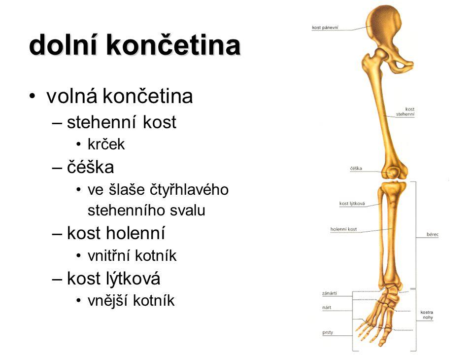 dolní končetina volná končetina –stehenní kost krček –čéška ve šlaše čtyřhlavého stehenního svalu –kost holenní vnitřní kotník –kost lýtková vnější ko