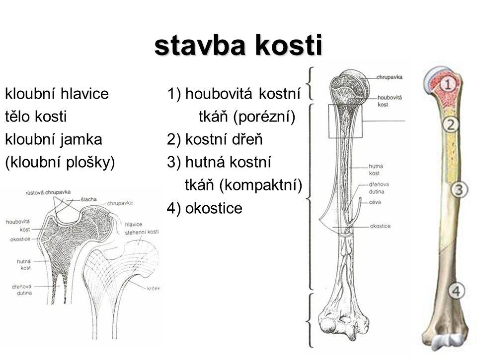 stavba kosti kloubní hlavice tělo kosti kloubní jamka (kloubní plošky) 1) houbovitá kostní tkáň (porézní) 2) kostní dřeň 3) hutná kostní tkáň (kompakt
