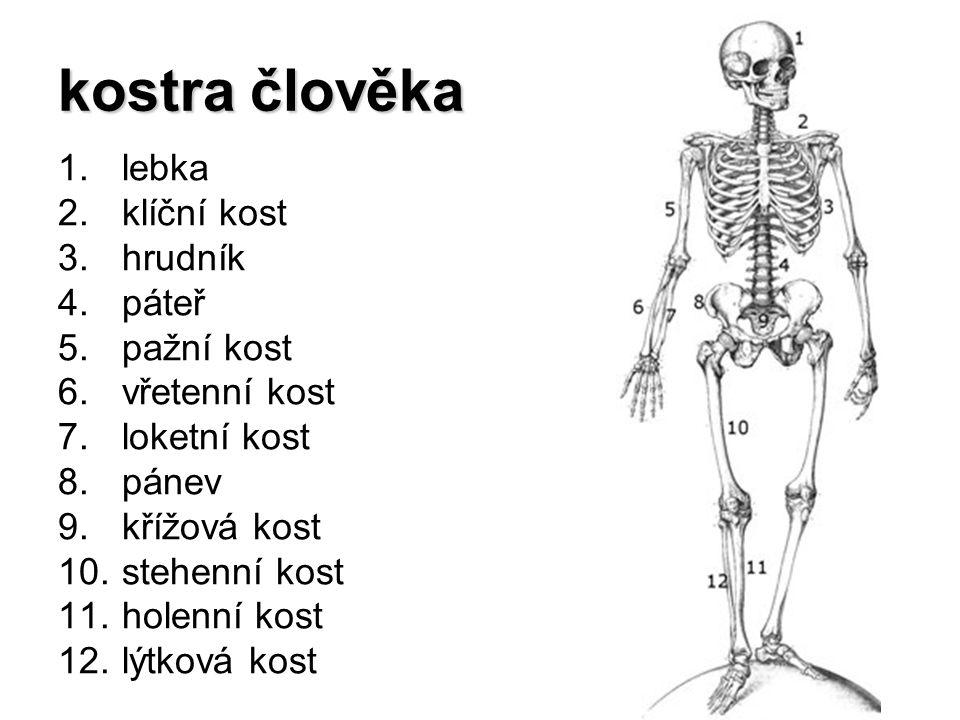 kostra člověka 1.lebka 2.klíční kost 3.hrudník 4.páteř 5.pažní kost 6.vřetenní kost 7.loketní kost 8.pánev 9.křížová kost 10.stehenní kost 11.holenní