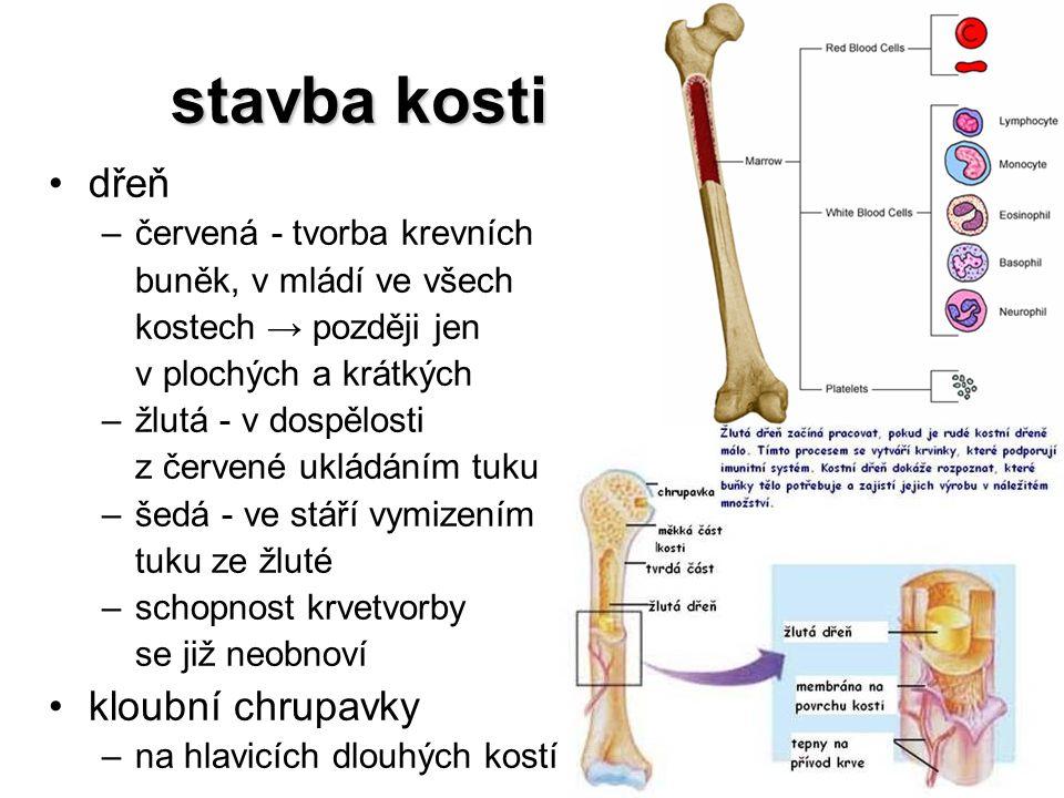 stavba kosti dřeň –červená - tvorba krevních buněk, v mládí ve všech kostech → později jen v plochých a krátkých –žlutá - v dospělosti z červené uklád