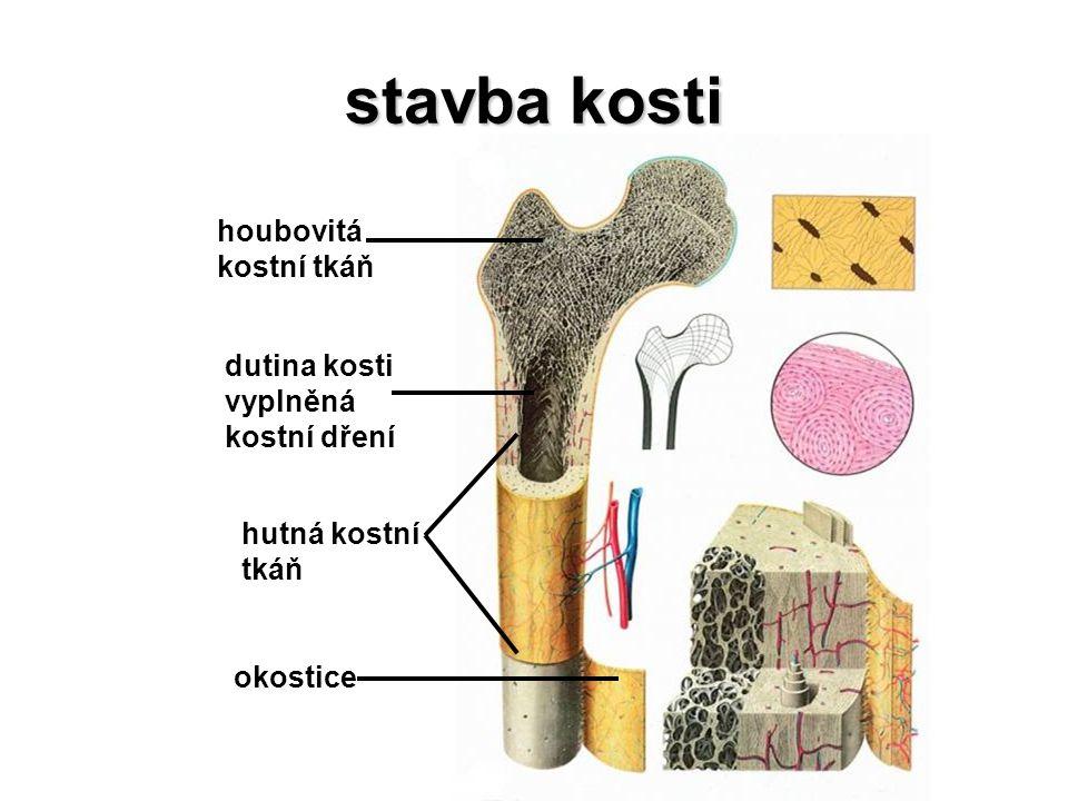 klíční kost klíční kost esovitě prohnutá