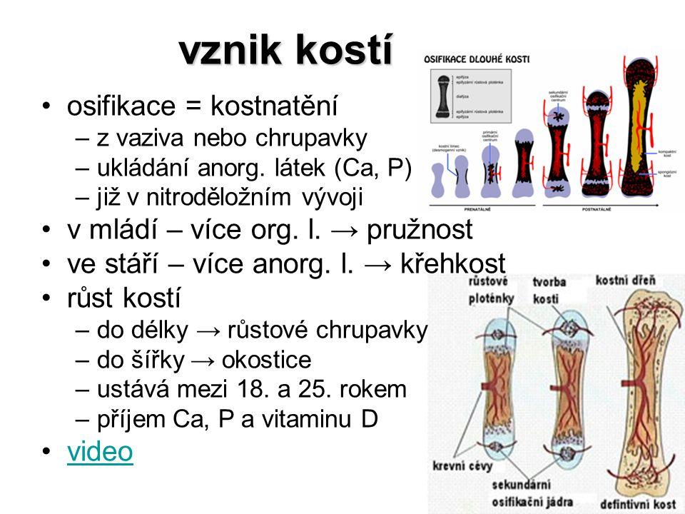 vznik kostí osifikace = kostnatění –z vaziva nebo chrupavky –ukládání anorg. látek (Ca, P) –již v nitroděložním vývoji v mládí – více org. l. → pružno