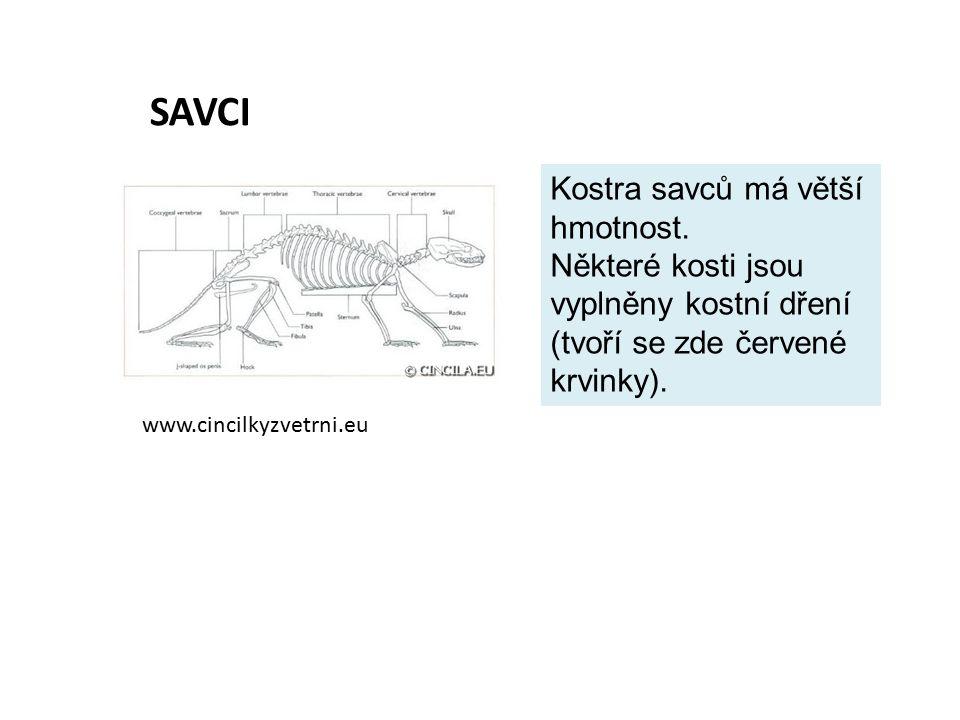 SAVCI www.cincilkyzvetrni.eu Kostra savců má větší hmotnost. Některé kosti jsou vyplněny kostní dření (tvoří se zde červené krvinky).