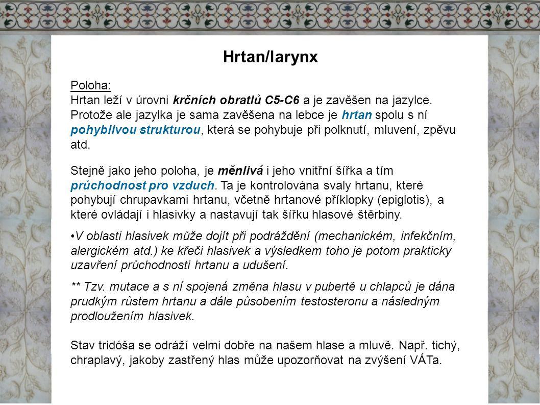 Hrtan/larynx Poloha: Hrtan leží v úrovni krčních obratlů C5-C6 a je zavěšen na jazylce. Protože ale jazylka je sama zavěšena na lebce je hrtan spolu s