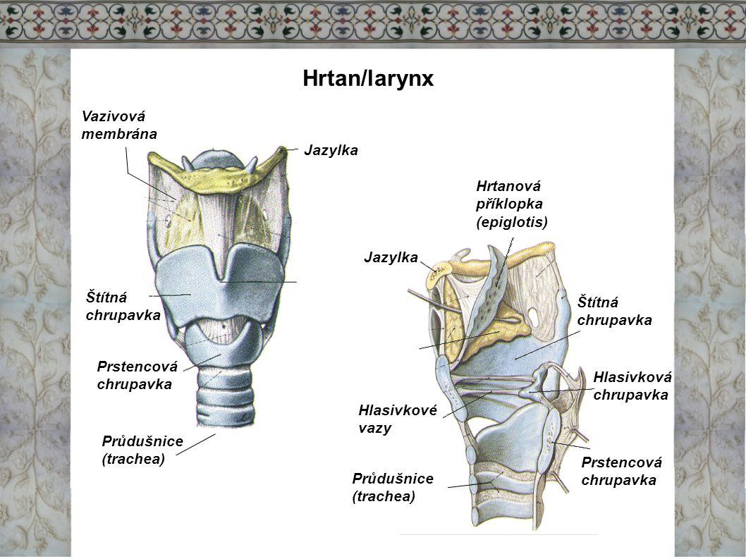 Hrtan/larynx Jazylka Prstencová chrupavka Štítná chrupavka Vazivová membrána Průdušnice (trachea) Jazylka Hrtanová příklopka (epiglotis) Hlasivkové va