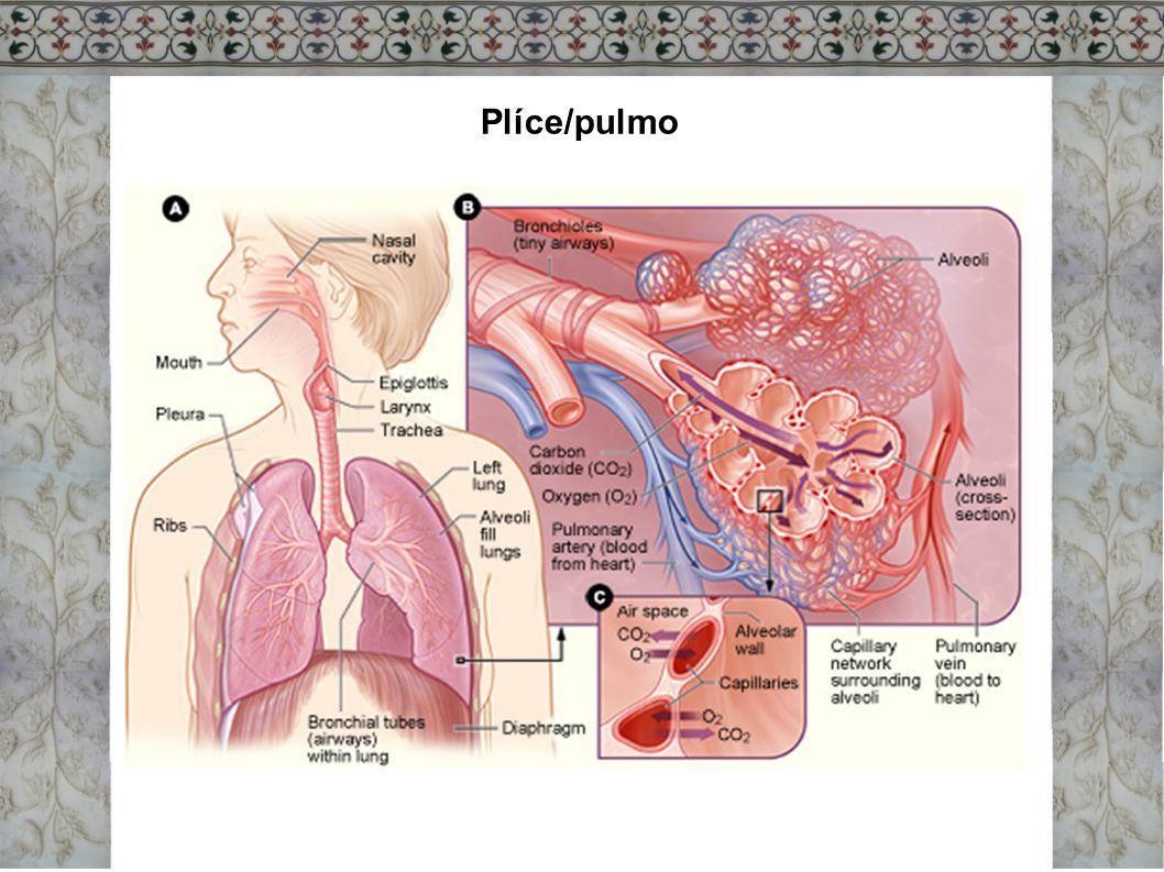 Plíce/pulmo