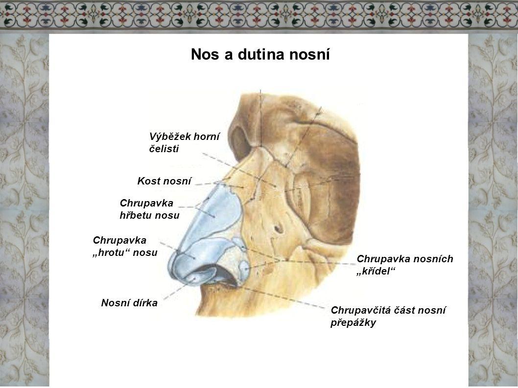 Nos a dutina nosní Nosní dutina Nosní skořepy/konchy Ústí Eustacho- vy trubice Tvrdé patro Měkké patro Čípek/uvula Čelní pohled na nosní dutinu a 3 nosní průchody Čichová sliznice Dutina lební