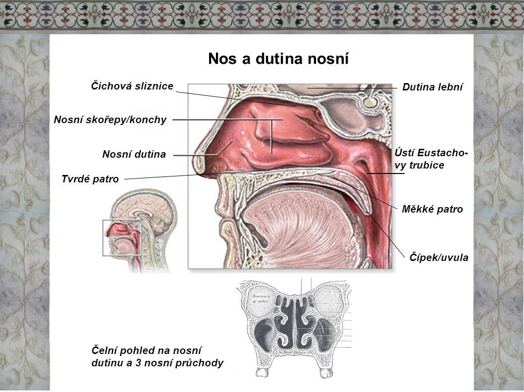 Nos a dutina nosní Nosní dutina Nosní skořepy/konchy Ústí Eustacho- vy trubice Tvrdé patro Měkké patro Čípek/uvula Čelní pohled na nosní dutinu a 3 no