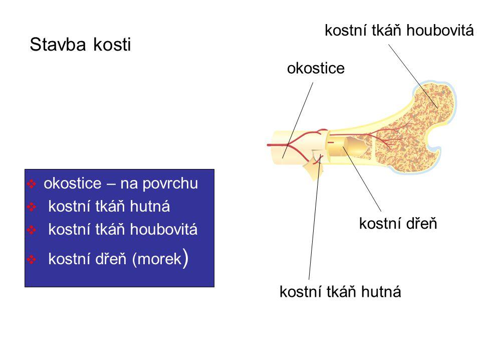 Stavba kosti  okostice – na povrchu  kostní tkáň hutná  kostní tkáň houbovitá  kostní dřeň (morek ) okostice kostní tkáň hutná kostní tkáň houbovitá kostní dřeň