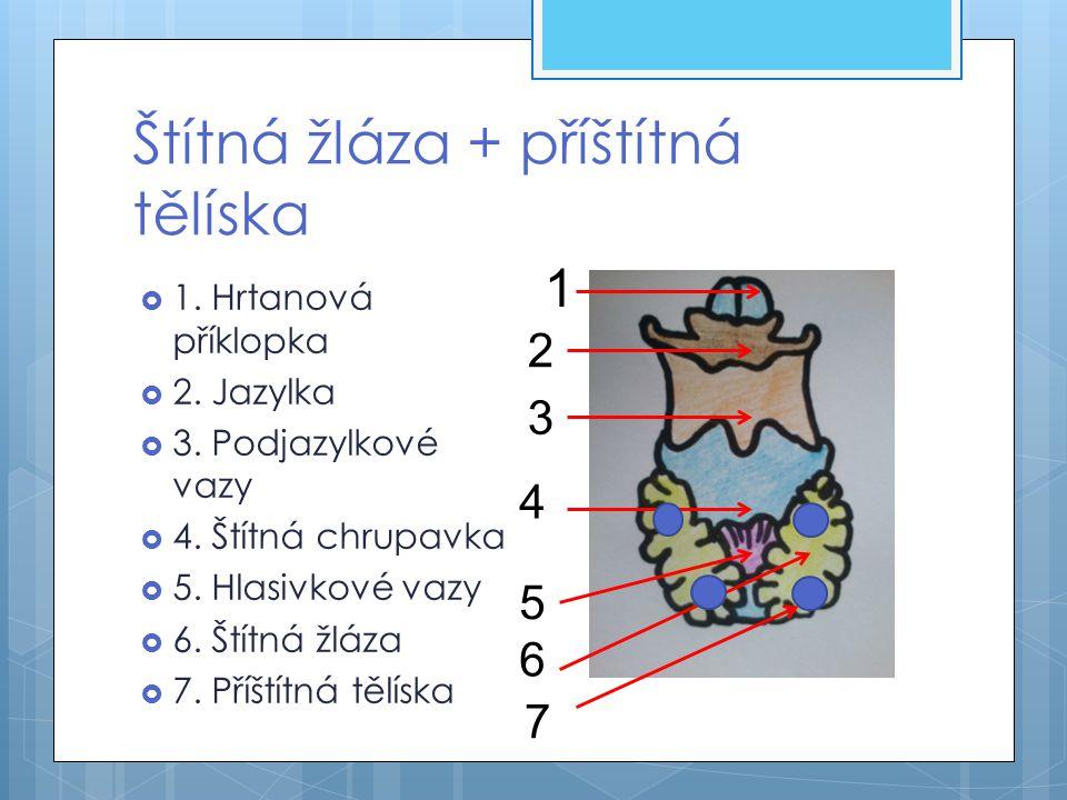 Štítná žláza + příštítná tělíska  1. Hrtanová příklopka  2. Jazylka  3. Podjazylkové vazy  4. Štítná chrupavka  5. Hlasivkové vazy  6. Štítná žl