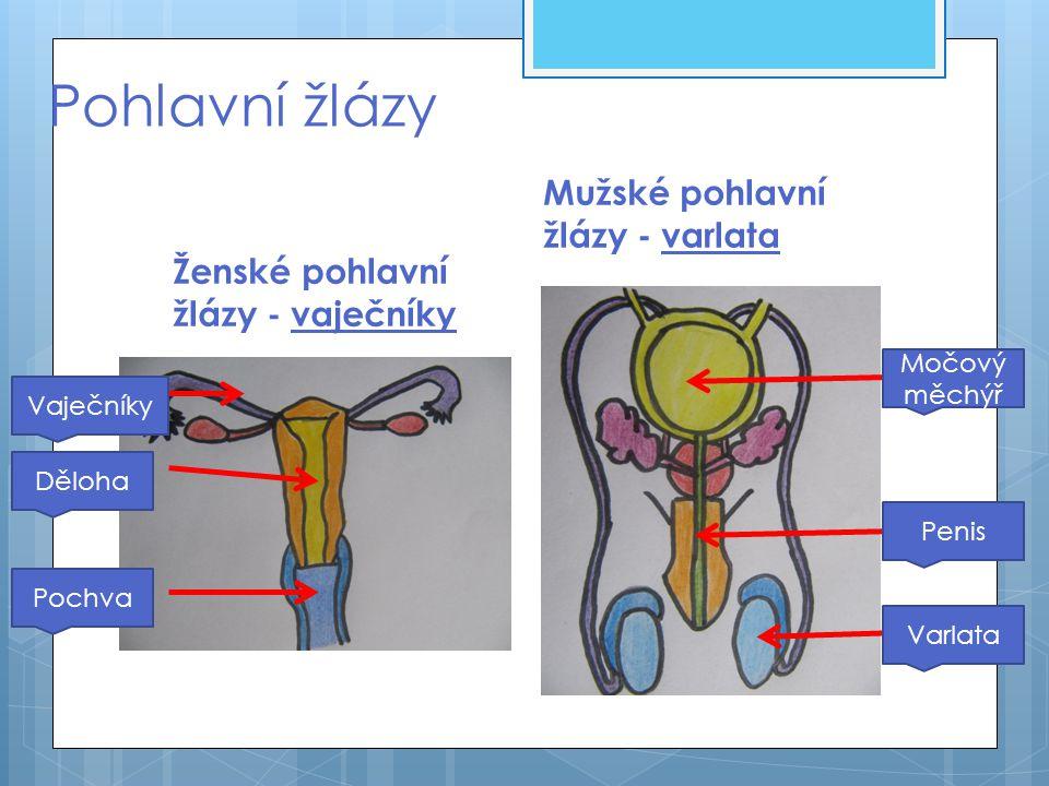 Pohlavní žlázy Ženské pohlavní žlázy - vaječníky Mužské pohlavní žlázy - varlata Vaječníky Děloha Pochva Močový měchýř Penis Varlata