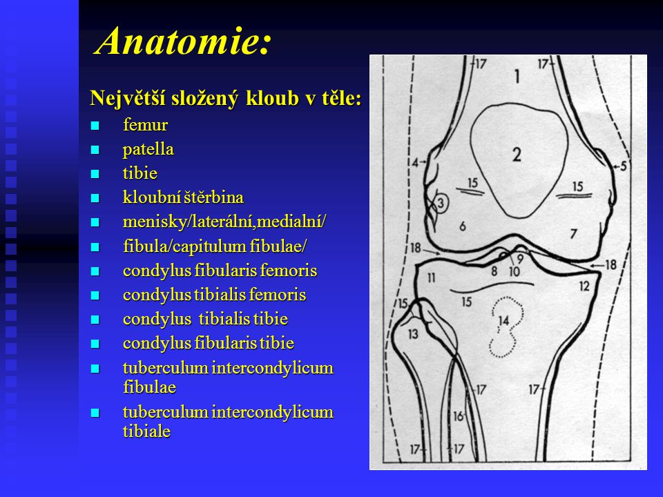 Anatomie: Bočně: fabela fabela Ligamentum patellae Ligamentum patellae úpon musc.