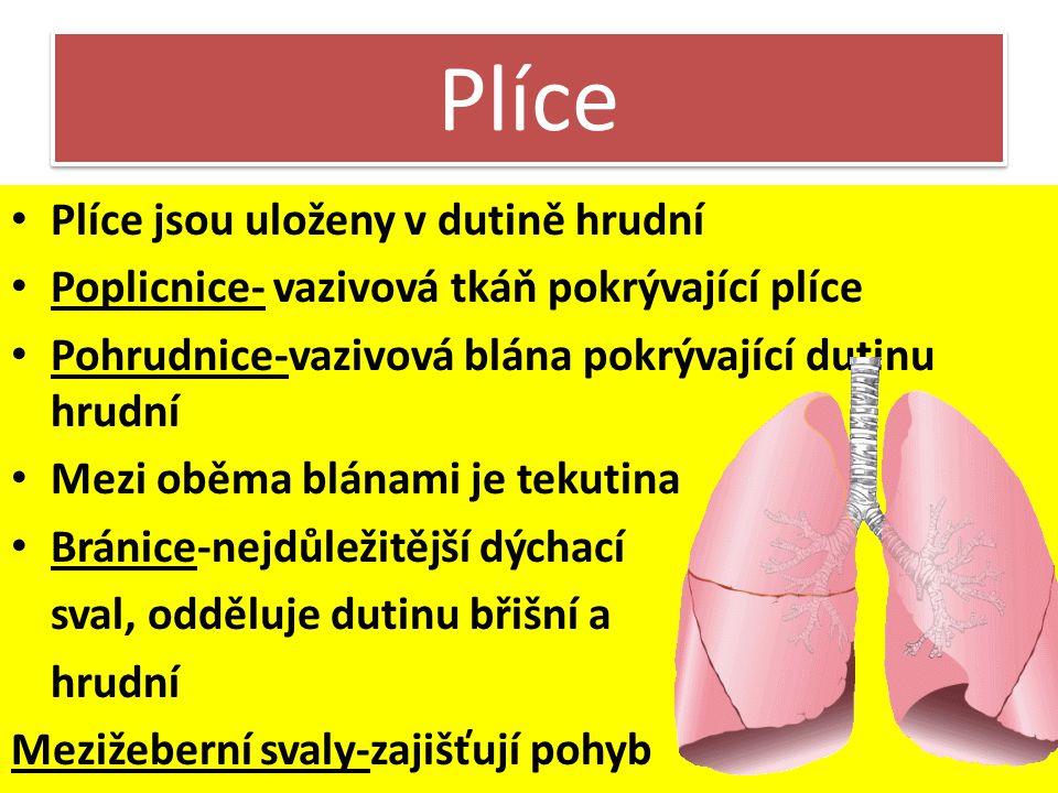 Plíce Jedním vdechem a výdechem se vymění 0,5 l vzduchu V klidu vdechneme a vydechneme asi 12-16 x za minutu Levá plíce 2 laloky Pravá plíce tři lalok
