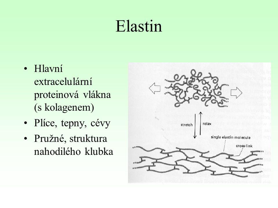 Elastin Hlavní extracelulární proteinová vlákna (s kolagenem) Plíce, tepny, cévy Pružné, struktura nahodilého klubka