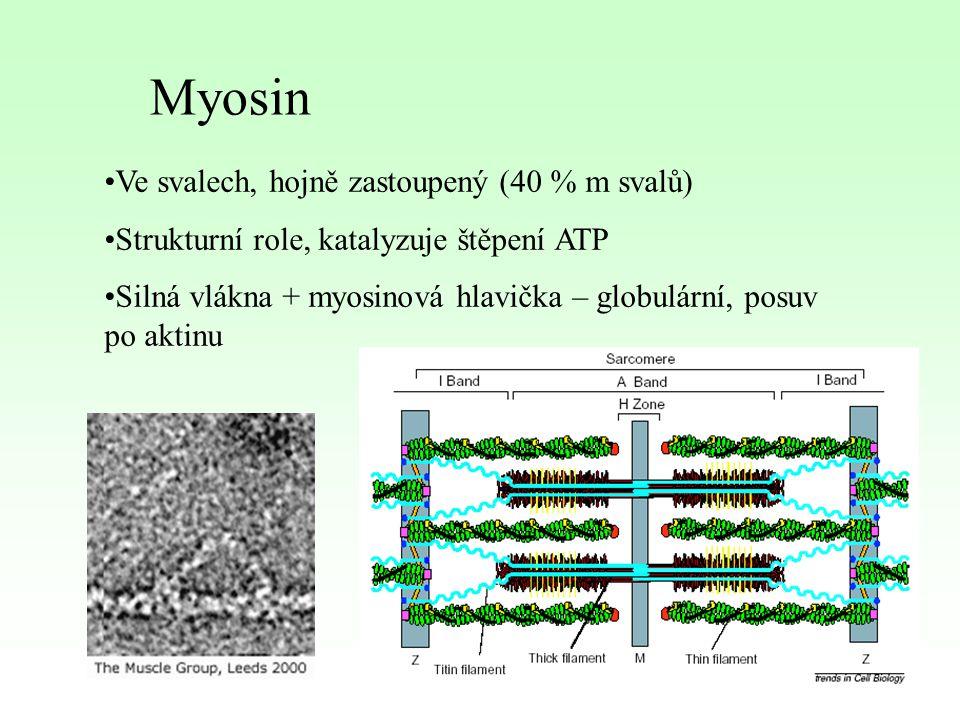 Myosin Ve svalech, hojně zastoupený (40 % m svalů) Strukturní role, katalyzuje štěpení ATP Silná vlákna + myosinová hlavička – globulární, posuv po ak