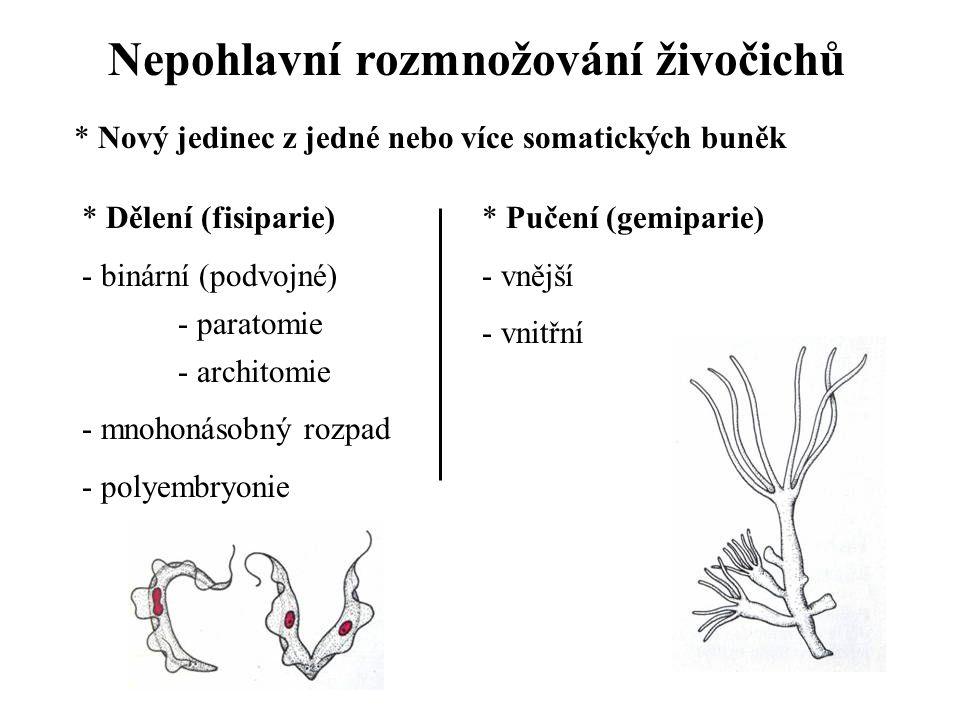 Nepohlavní rozmnožování živočichů * Nový jedinec z jedné nebo více somatických buněk * Dělení (fisiparie) - binární (podvojné) - paratomie - architomie - mnohonásobný rozpad - polyembryonie * Pučení (gemiparie) - vnější - vnitřní