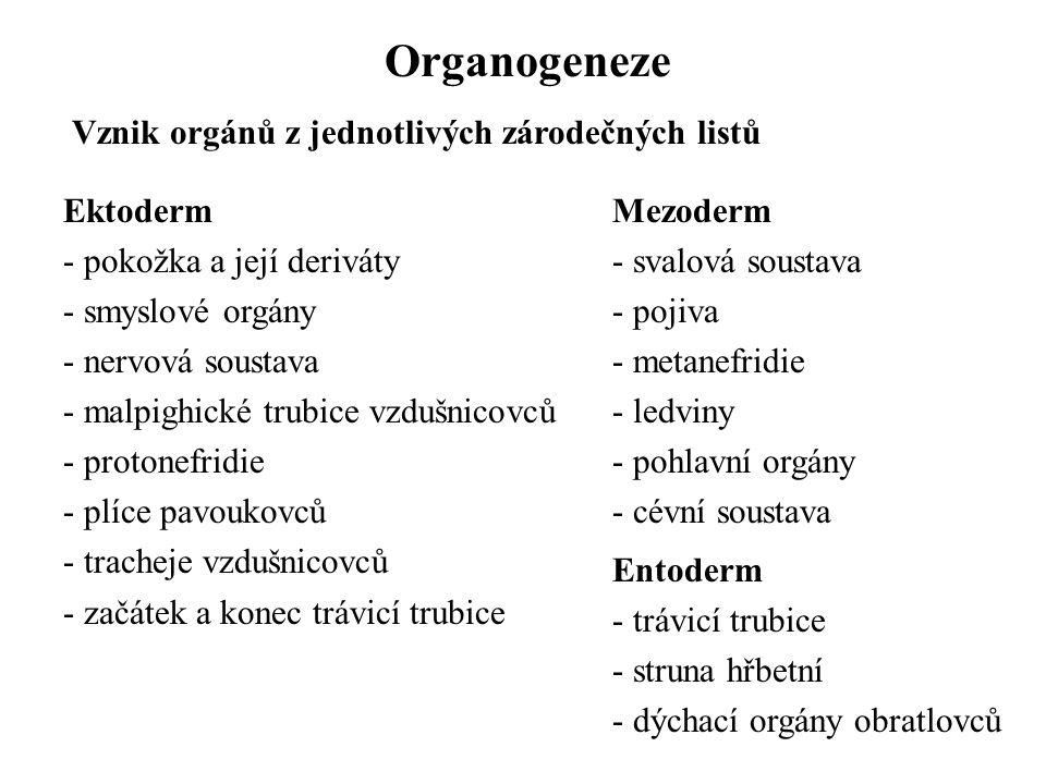 Organogeneze Vznik orgánů z jednotlivých zárodečných listů Ektoderm - pokožka a její deriváty - smyslové orgány - nervová soustava - malpighické trubice vzdušnicovců - protonefridie - plíce pavoukovců - tracheje vzdušnicovců - začátek a konec trávicí trubice Mezoderm - svalová soustava - pojiva - metanefridie - ledviny - pohlavní orgány - cévní soustava Entoderm - trávicí trubice - struna hřbetní - dýchací orgány obratlovců